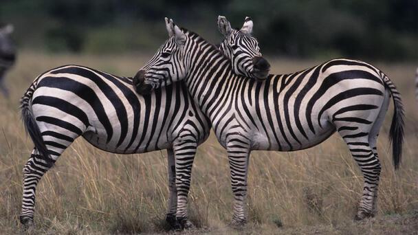 Maryland Officials Using Zebras To Catch Escaped Zebras