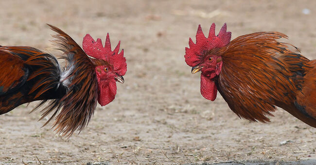 chickens roosters cockfighting