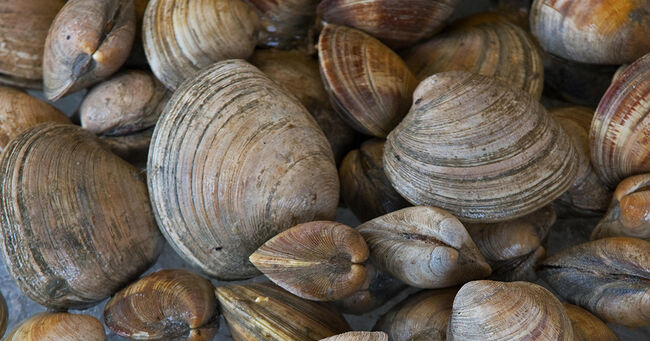 Maine Clams