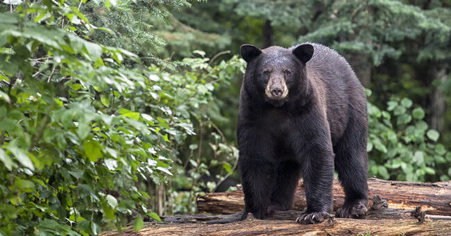 black bear generic getty