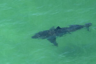 More Than 100 Beach Closures Due To Shark Sightings