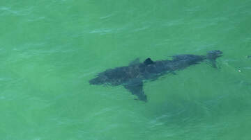 Local News - New Study Offers No Direct Solutions To Deal With Cape Cod Sharks