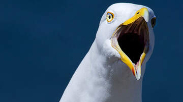 West Michigan's Morning News Blog (35853) - Top 5: Seagull Stare Downs, Tigers Win, and More!