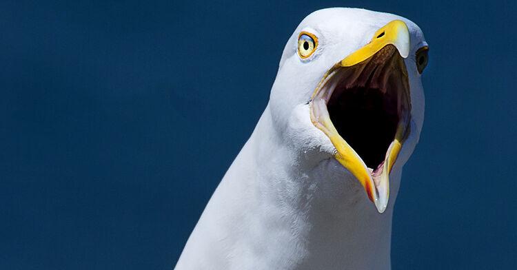 seagull stock generic