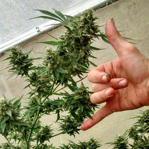 Free da Herb