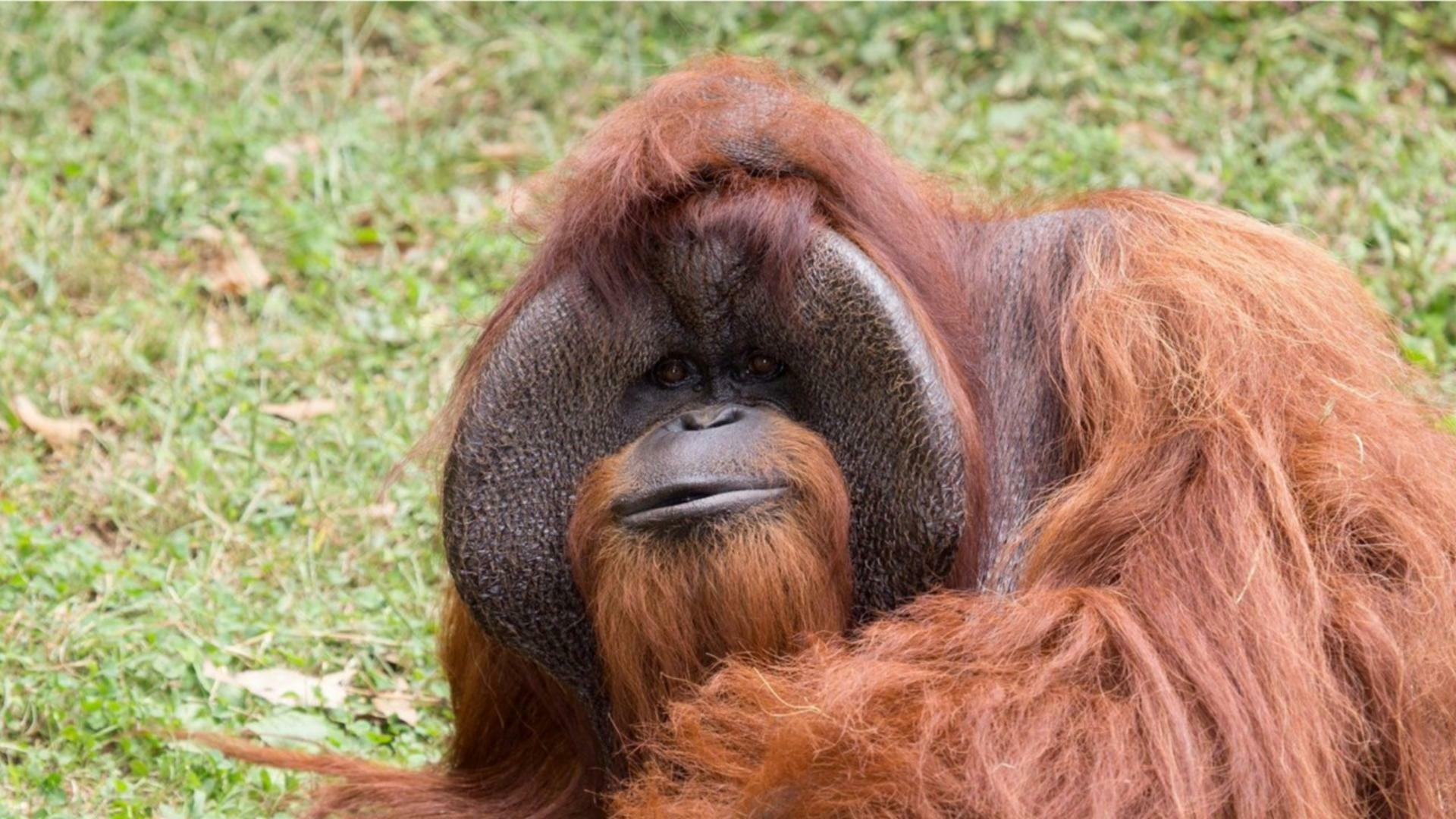 Signing Orangutan Dies At Zoo Atlanta 981 The Breeze