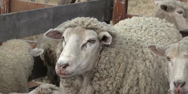 Scientists Create Human-Sheep Hybrids