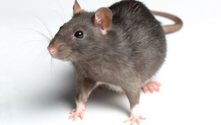 Does Kelowna have a rat problem?