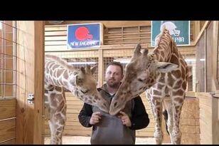 Did April The Giraffe Predict The Super Bowl Winner?