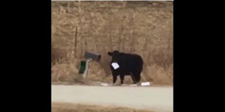 No Bull! Family Has Beef With Cow Stealing Mail!