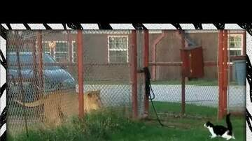 Valley's Morning News - House Cat Doesn't Back Down from Lion