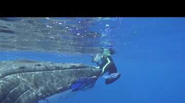 Web Trending News - Humpback Whale Saves Marine Biologist From Shark