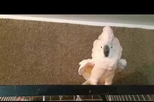 Cockatoo Explodes in Swear-Filled Tantrum for Being Sent to It's Cage