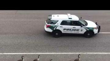 Newman - Geese Get A Police Escort Along The Highway