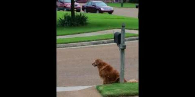 Golden Waits For & Retrieves the Mail Each Day!