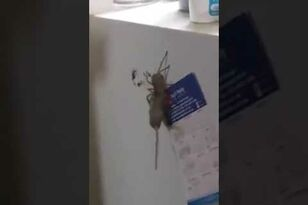 Gigantic Spider Caught Carrying Mouse