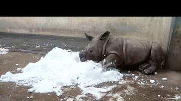 Ryan Gorman - White Rhino Calf Meets Snow For First Time