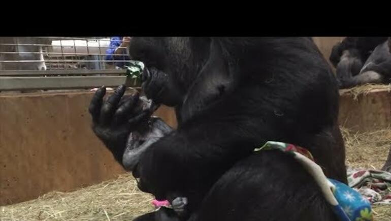 Gorilla Mom Showers Newborn Baby with Kisses