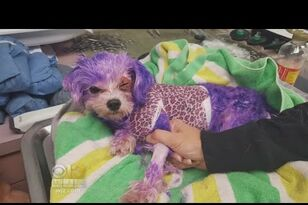 Dog Nearly Dies From Severe Burns From Human Hair Dye
