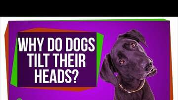 Jaylah - [HUH?] Why Do Dogs Tilt Their Heads?