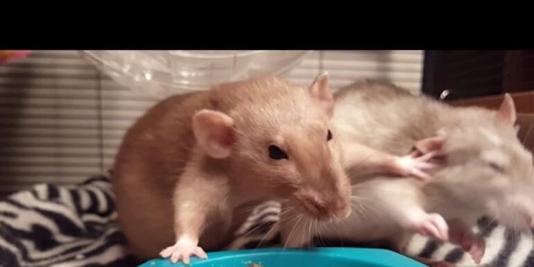 Rats Having a Slap Fight