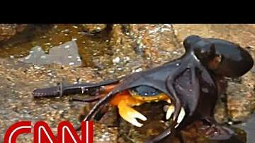 GATER Feed - Octopus Leaps Out Of The Water To Attack A Crab