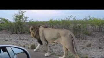 Trending Stories - What Happens When You Tease a Lion