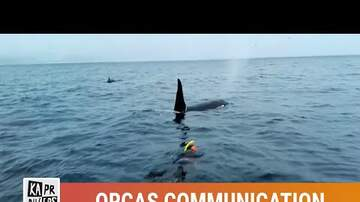 Andy Clark - Wild Orcas are saying hi to humans.