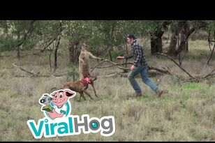 Guy Punches Kangaroo in Face to Save His Dog