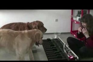 Brilliant Musician Dogs Play Piano