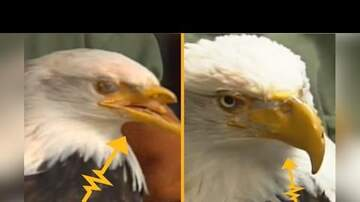 Ryan Nelson - Bald Eagle Shot In Face Gets 3D-Printed Beak
