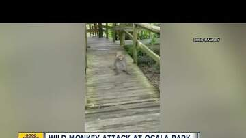 Simon Conway - Family attacked by wild monkeys at Florida State Park - VIDEO