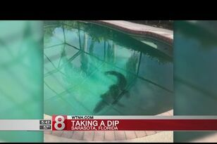 Gator Found in Backyard Pool