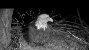 Jay Capron - Decorah Eagles Lay First Egg