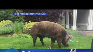 Hudson & Scotty B - Would you look at the size of this pig!! 1000 pounds