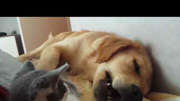 PET CENTRAL - VIDEOS - Kitten tries to eat a sleeping dog(one of the cutest videos I've ever seen)