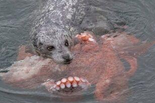 Harbor Seal vs Giant Octopus!