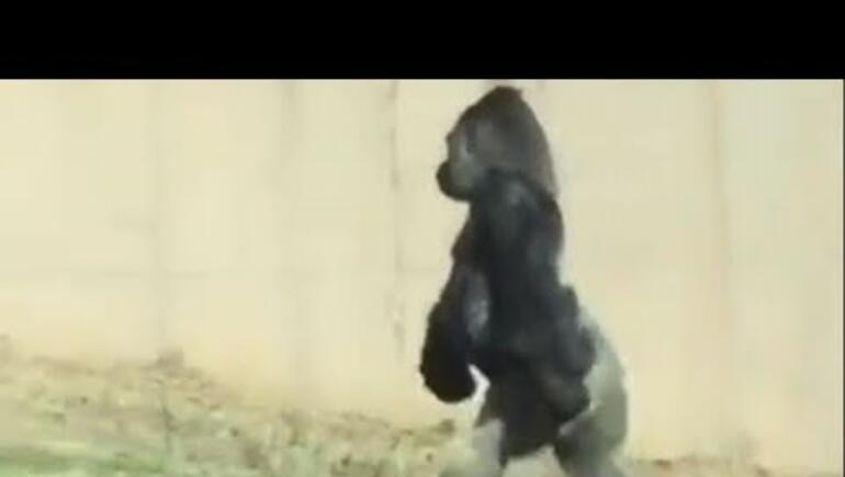 Gorilla Worries Zoo-Goers as He Walks on His Feet Instead of His Hands