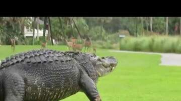 Randi West - HUGE gator on South Carolina golf course