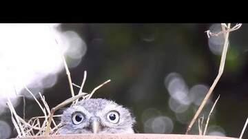 Keith Kennedy - Video Cuteness: Shy Baby Owl Plays 'Peek-a-boo'
