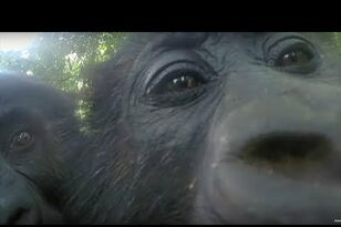 Gorillas React to Their Reflections