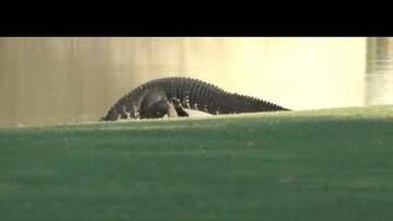 Kat Jackson - Alligator Relocates Her 16 Babies