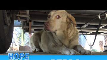 Meaghan Mick - Yellow Labrador dumped after being used for breeding puppies