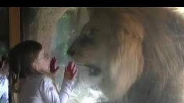 Mary Jane - Lion gets nuts on a little girl at zoo