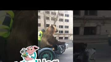 Woody Johnson - Video of the Day: A Bear Riding In A Motorcycle Side Car