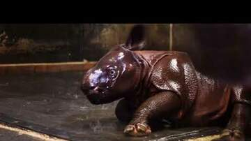 Cindy Collins - Baby Rhino Plays In Shower - Adorable!