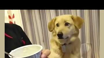 Scott Davidson - Video Cuteness: Dog Wants Some Yogurt, But Is Too Shy To Ask For It