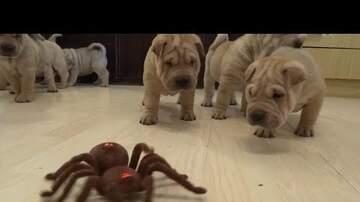 ArticlesWMKS - Puppies vs. Robot Spider