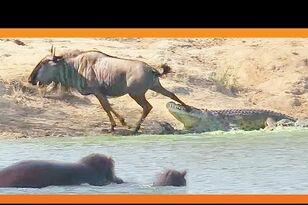 Hippo Saves Wildebeest From Crocodile