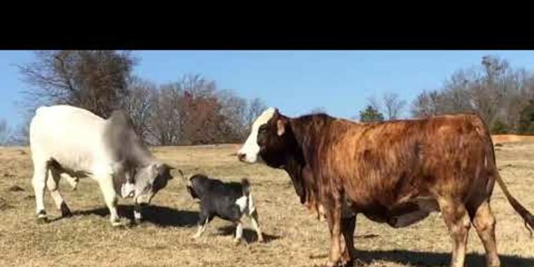 VIRAL VIDEO: Little Goat Shows Big Bull Who's Boss